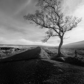 Sally Gap Tree