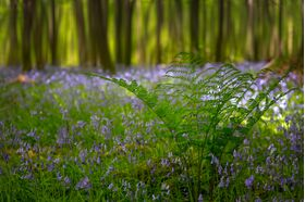 Killinthomas Woods Bluebells
